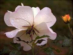 Insekt und Rose