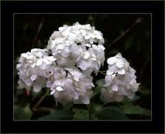 Weisse Hortensien