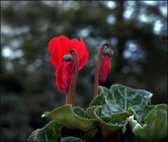 Zwei Blüten bei Einbruch der Dunkelheit