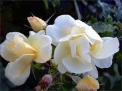 Weisse Rosen im Morgentau