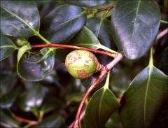 Baumsamen