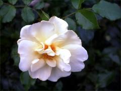 Rose am Wegrand