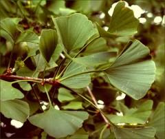 Gingoblätter