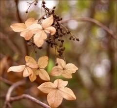 Vertrocknete Blüten