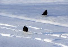 2 Amseln im Schnee