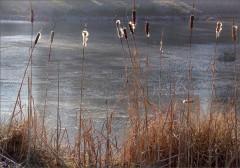 Schilfkolben am See
