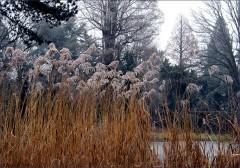 Schilf am zugefrorenen Teich