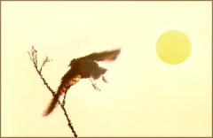 Sylkes Vogel