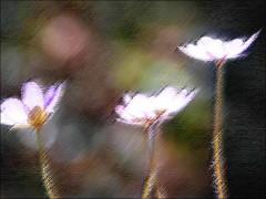 Felfries Blüten