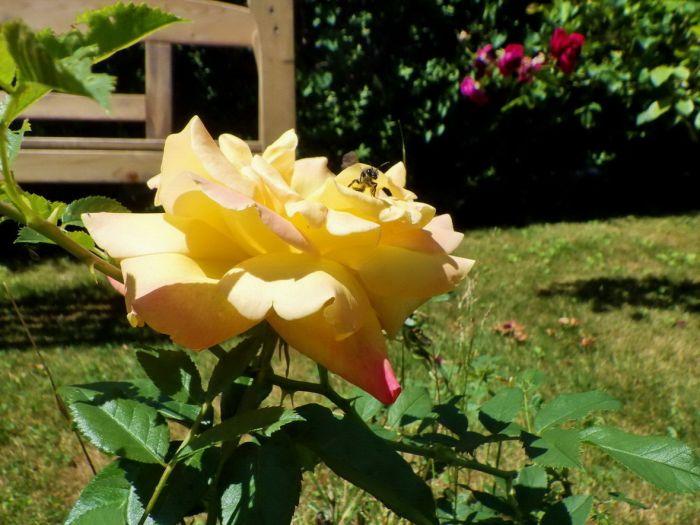 Rose im Juni