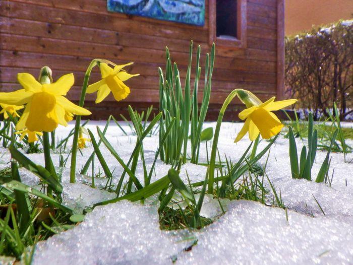 Zwerg - Narzissen im Schnee