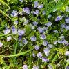 Wald-und Wiesenblume