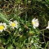 Gänseblümchen im Februar