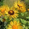 Sommergold