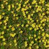 Kleine Sonnenblüten