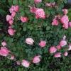 Rosen für Elfie