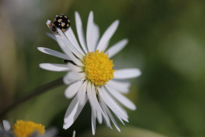 Gänseblümchen und Marienkäfer