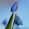 Blausterne