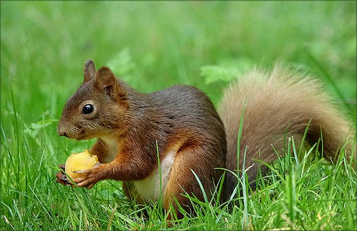 Eichhörnchen mit Aprikose