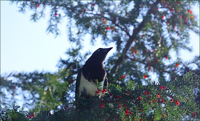 Elster im Eibenbaum