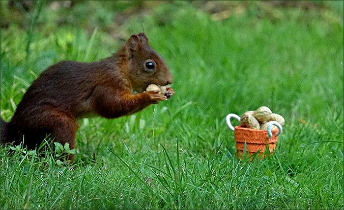 Eichhörnchen mit einer Erdnuss