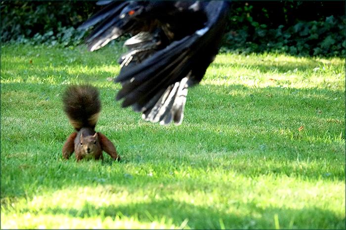 Eichhörnchen und Rabe / Bild 3
