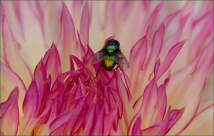 Fliege in einer Dahlie
