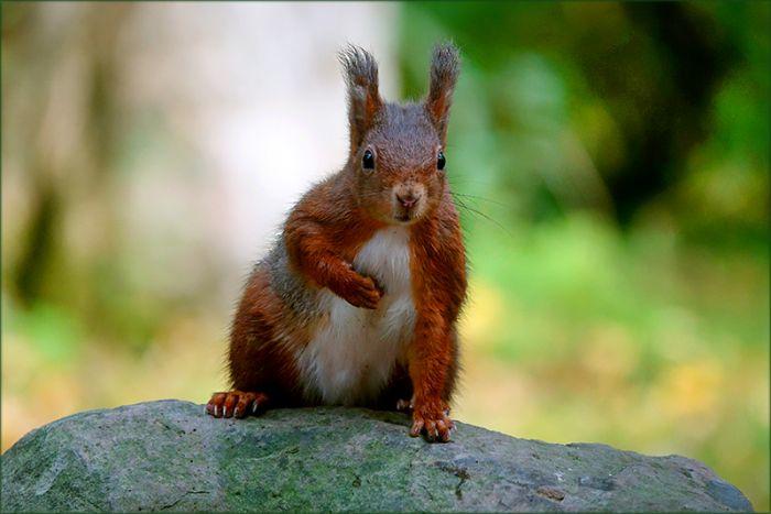 Eichhörnchen schaut neugierig auf meine Kamera