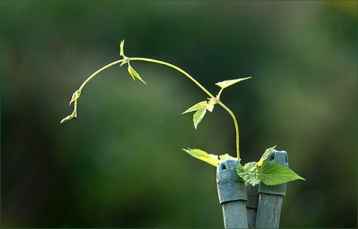 Windenpflanze