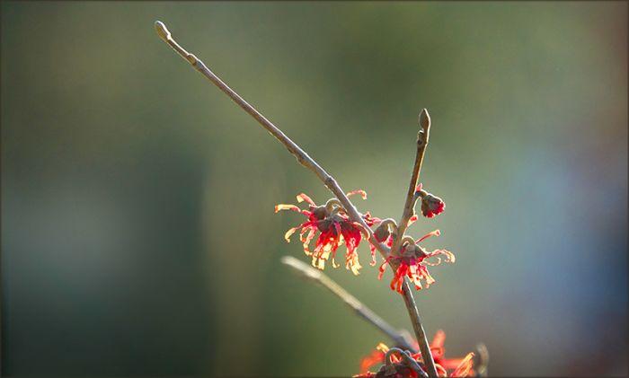 Blüten der Zaubernuss im Februar