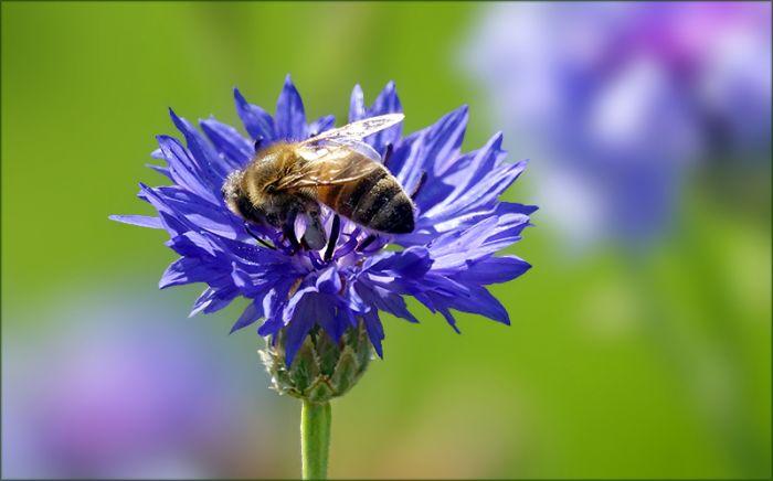 Biene auf einer Kornblume
