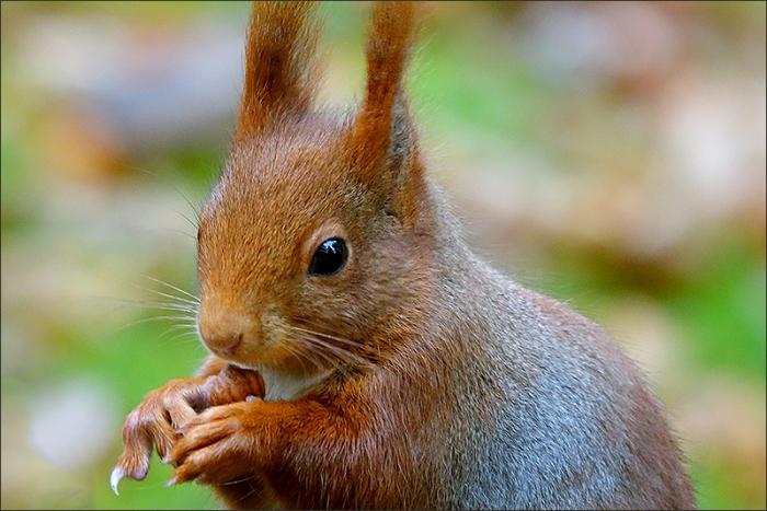 eichhörnchen mit einer nuss  jahreszeiten  galerie