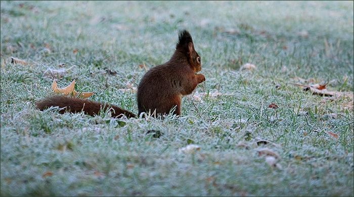 Eichhörnchen auf der Wiese mit Raureif