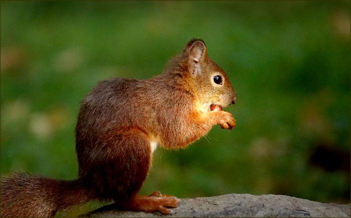 Eichhörnchen im Sonnenstrahl