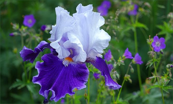 Irisblau