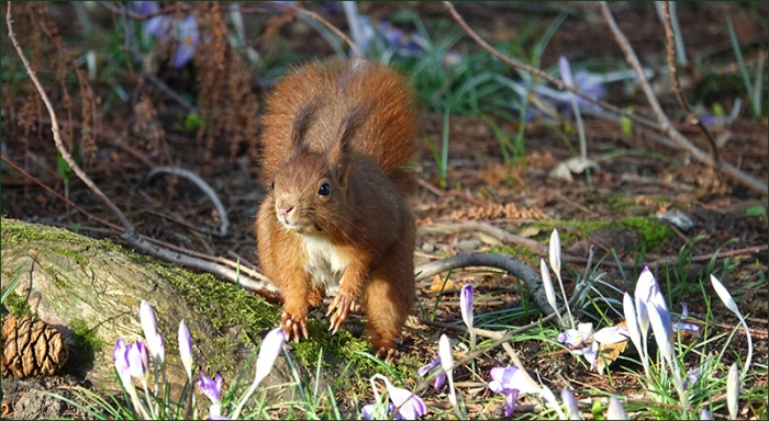 Eichhörnchen und Krokusse am Waldrand