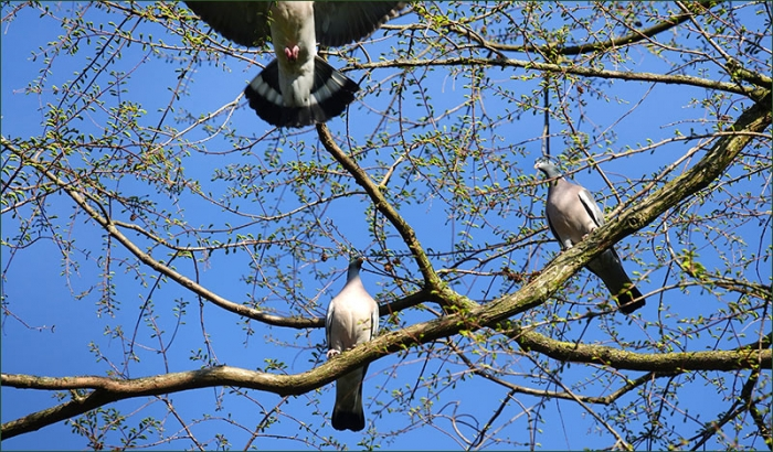 Drei Tauben
