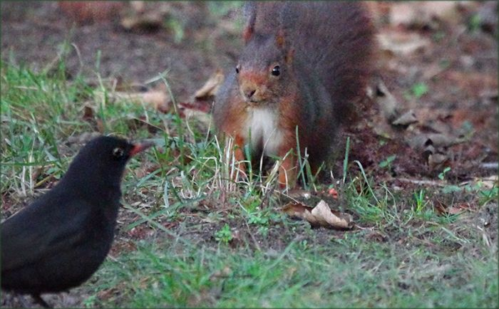 Amsel und Eichhörnchen begrüssen sich