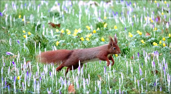Springendes Eichhörnchen im Februar