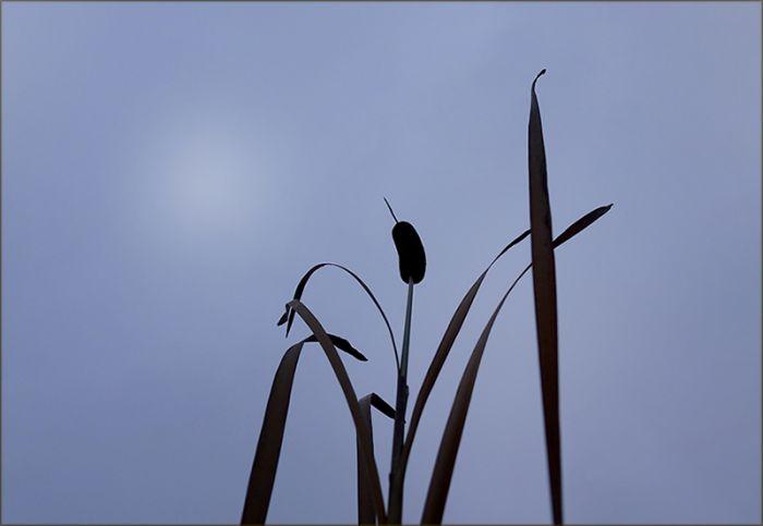Schilfrohr im Morgennebel