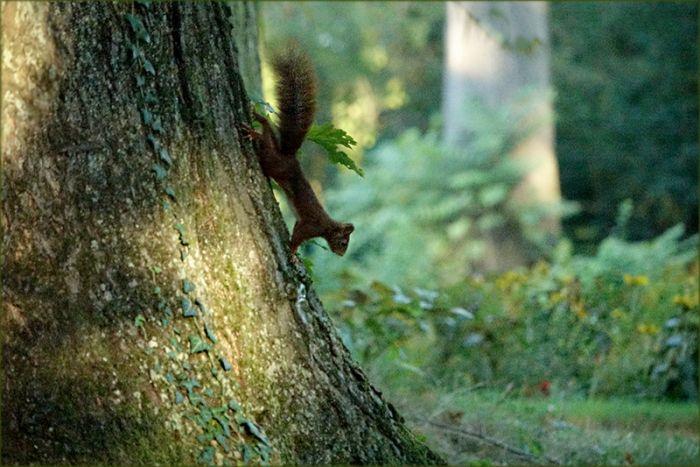 Eichhörnchen im Wald