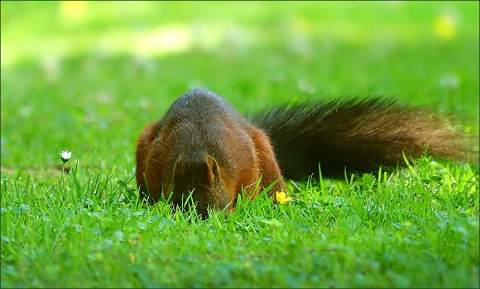 Eichhörnchen sucht nach Futter