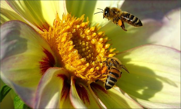 Dahlie und 2 Bienen