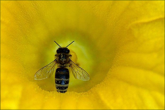 Biene in einer Kürbisblüte