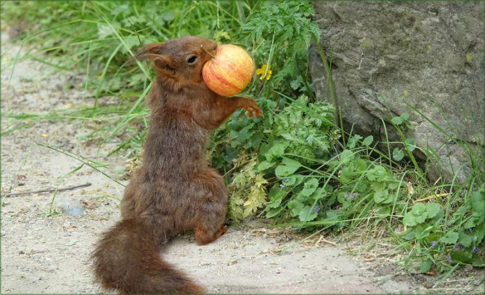 Eichhörnchen mit Apfel
