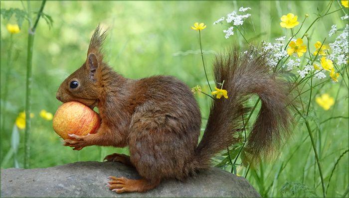 Eichhörnchen mit dem Apfel