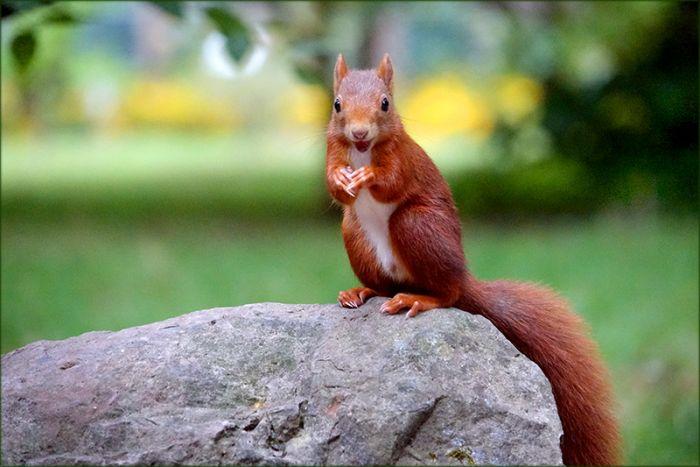 Lachendes Eichhörnchen
