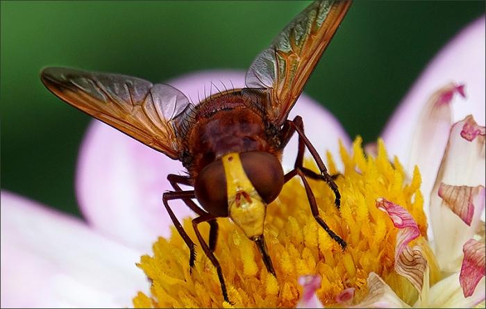 Dahlie mit einem Insekt
