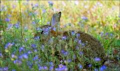 Wildkaninchen hinter blauen Blumen