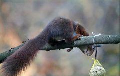 Das Eichhörnchen besichtigt den Meisenknödel